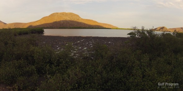 Thick layers of organic-rich peat are deposited over time in and around mangrove roots.