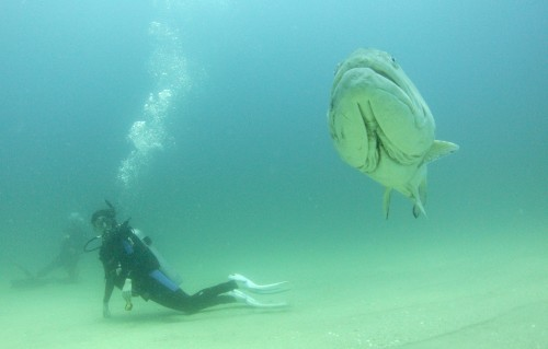 Figure 4. Erin Reed rests on the bottom and observes a large male Gulf Grouper patrolling its territory and circling the dive team. Photo: David Castro
