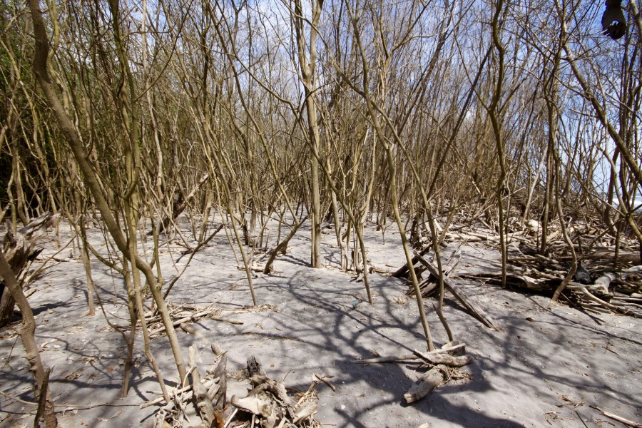 A graveyard of dead black mangroves, Avicennia germinans, slowly buried by depositing sand at the mouth of the Santiago River. Photo: Ana Ezcurra