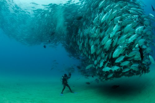 Thousands of fish coming together during reproduction courtship. In the afternoon, these fish form a massive spawning aggregation around the reefs of the National Park. The diver in the image is David Castro, a local divemaster of Cabo Pulmo who has been working together with his family, in the protection of the Park that has been close to any fishing activities for the last 17 years. This no-take marine reserve has allowed the recovery of many species and the historical abundance of predatory fish such as Bigeye travellies.