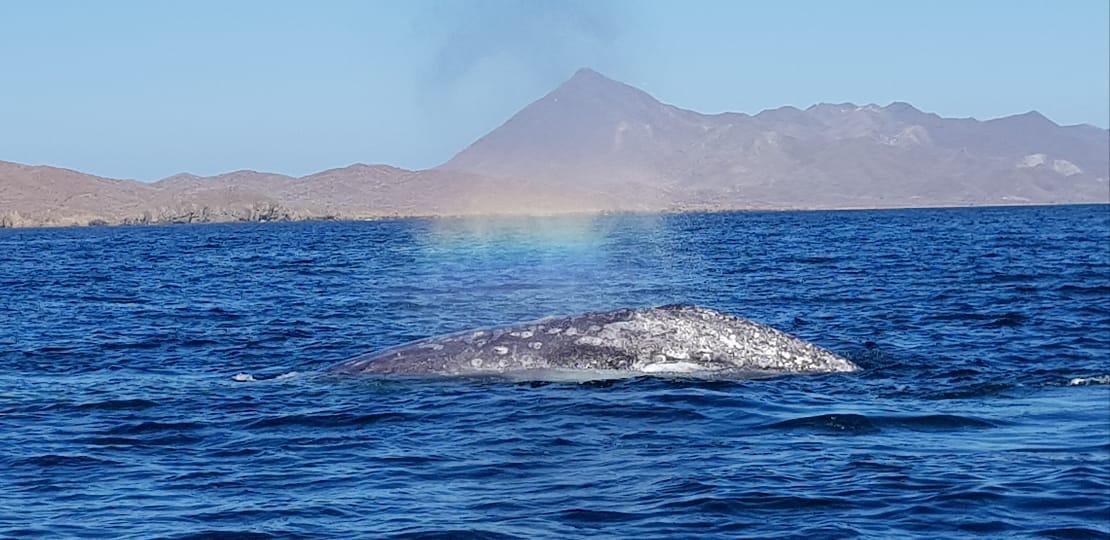 Monitoreando la actividad turística en Bahía Magdalena-Almejas: avistamiento de ballena gris